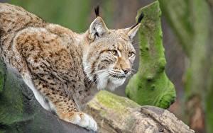 Фото Большие кошки Рыси Лапы Смотрит Животные