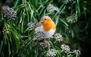 Картинки Птицы Ягоды Боке Ветвь European robin Животные