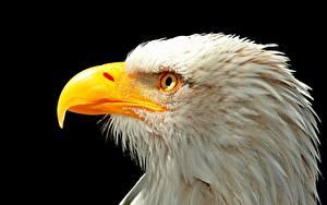 Картинки Птицы Крупным планом Клюв Белоголовый орлан Голова На черном фоне Животные
