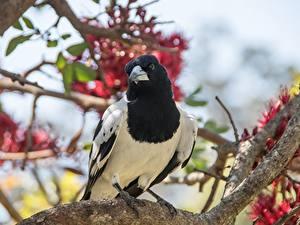 Картинки Птицы Сорока Ветка Размытый фон Взгляд животное