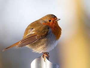Обои для рабочего стола Птица Размытый фон European robin животное