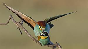 Фотографии Птицы Двое Ветки Gruccioni животное