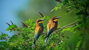 Картинки Птица Два Ветки Листва Merops apiaster Животные