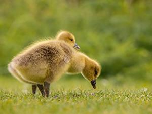 Фотография Птицы Птенец Гусь Боке Траве Сбоку 2 Животные