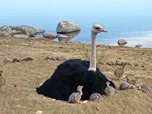 Фото Птицы Страусы Птенцы Песка Сидящие животное