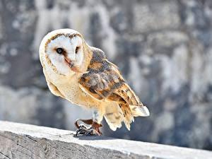 Обои Птицы Совы Боке Common Barn Owl животное