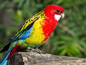 Фотографии Птица Попугаи Боке животное