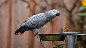 Фотографии Птица Попугаи Серая Миска Grey parrot животное