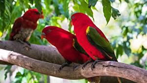 Фото Птица Попугаи Ветка Красных lorikeet Животные