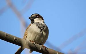 Картинки Птицы Воробей На ветке Животные