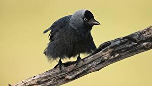 Картинка Птица Ветвь Western jackdaw животное