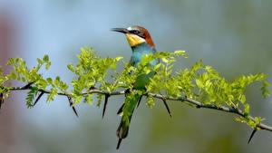 Картинка Птицы Ветки Размытый фон golden bee-eater Животные