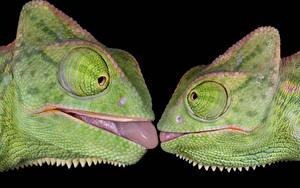 Фото Черный фон Хамелеон 2 Язык (анатомия) Голова Животные