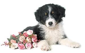 Обои Букет Роза Белом фоне Лежа Щенки Аусси животное Цветы