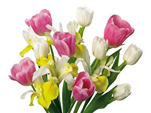 Картинка Букеты Тюльпаны Нарциссы Белый фон Цветы
