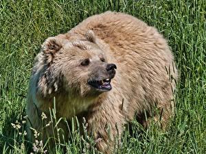 Фото Медведи Бурые Медведи Трава Смотрит Оскал Животные