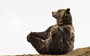 Обои Медведи Бурые Медведи Лапы Сидя Смешная животное