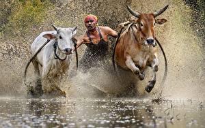 Фотографии Быки Вода Мужчина Бегущая С брызгами Traditional bull race Животные