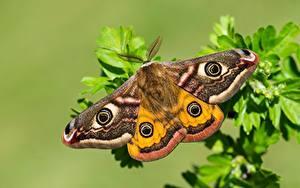 Фото Бабочка Вблизи Small emperor moth животное