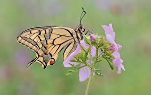 Фото Бабочки Насекомое Крупным планом Swallowtail butterflies Животные