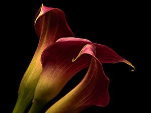 Обои Каллы Крупным планом На черном фоне Втроем Цветы