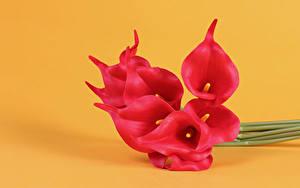 Фотография Каллы Крупным планом Цветной фон Красный цветок
