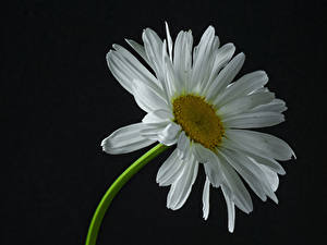 Картинки Ромашка Крупным планом На черном фоне Белый цветок