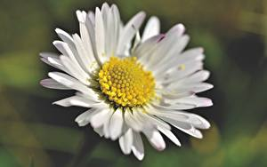 Обои Ромашки Вблизи Боке Белых Цветы