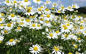 Фотография Ромашка Много Вблизи цветок
