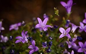 Картинки Колокольчики - Цветы Боке Фиолетовая цветок