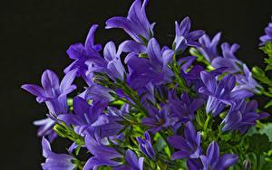 Обои Колокольчики - Цветы Вблизи На черном фоне Фиолетовый Цветы