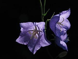 Картинка Колокольчики - Цветы Вблизи Черный фон Фиолетовые Цветы