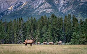 Обои Канада Парк Леса Горы Олени Банф Ели Животные