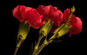 Фотография Гвоздики На черном фоне Втроем Красных цветок