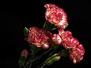 Фотография Гвоздика Крупным планом Черный фон Бутон цветок
