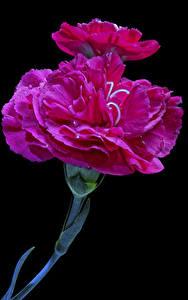 Фотография Гвоздики Вблизи Черный фон Розовый Цветы