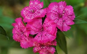 Картинки Гвоздики Крупным планом Розовая Цветы