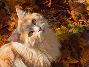 Обои Кот Осенние Взгляд Листва Морды Рыжие животное