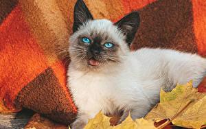 Картинки Кошки Взгляд Котята Balinese cat