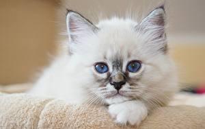 Фотография Кошка Котенок Смотрит Белая Белый Животное Животные