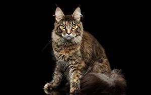 Картинка Коты На черном фоне Смотрит Животные