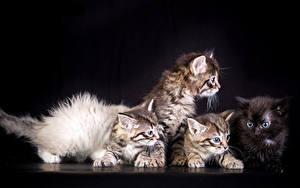 Картинки Кошки Черный фон Котята Животные