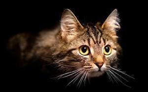 Фотография Коты На черном фоне Морда Усы Вибриссы Смотрит животное