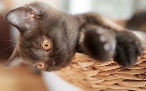 Картинки Коты Размытый фон Смотрят Лап Котенок Черный животное