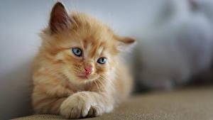 Обои Коты Боке Котенок Смотрит Лап Рыжая Миленькие животное