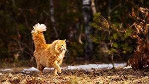 Фотографии Кошки Боке Рыжая Прогулка