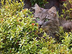 Фотографии Кошки Ветки Морды Смотрит животное