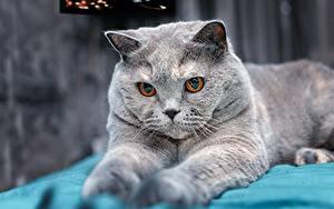 Фотография Кошки Британская короткошёрстная Серая Взгляд Животные