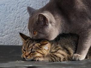 Фотография Кошка Британская короткошёрстная Котята 2 животное