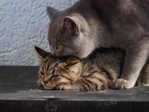 Фотография Кот Британская короткошёрстная Двое Животные